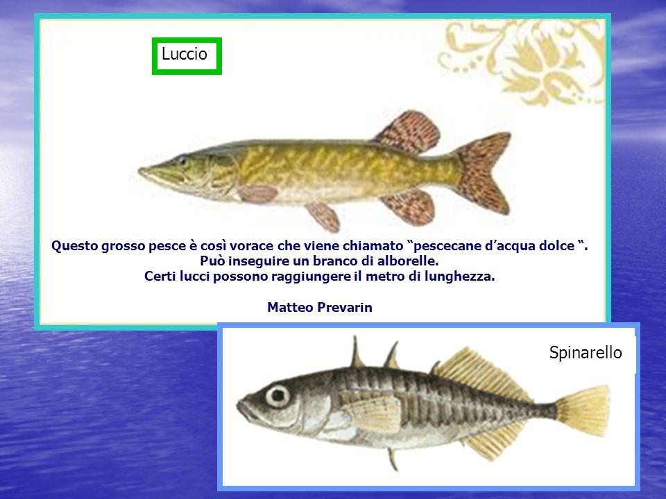 Luccio Spinarello Questo grosso pesce è così vorace che viene chiamato pescecane dacqua dolce.