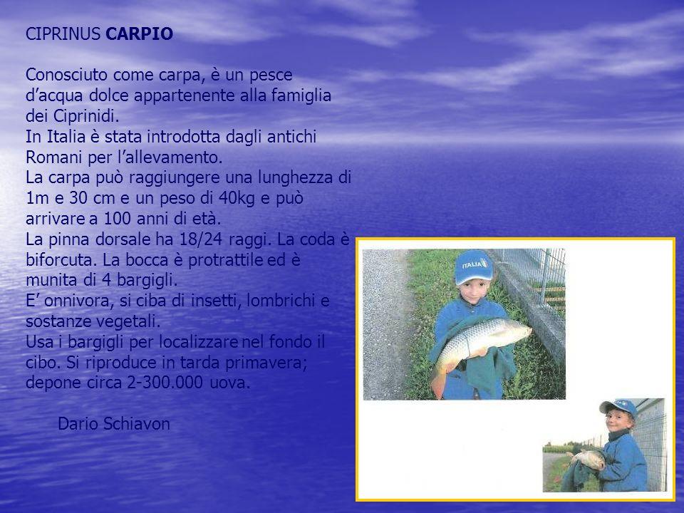 CIPRINUS CARPIO Conosciuto come carpa, è un pesce dacqua dolce appartenente alla famiglia dei Ciprinidi.
