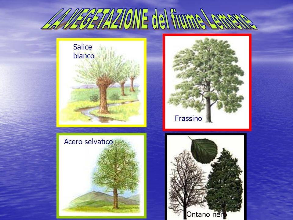 Salice bianco Acero selvatico Frassino Ontano nero