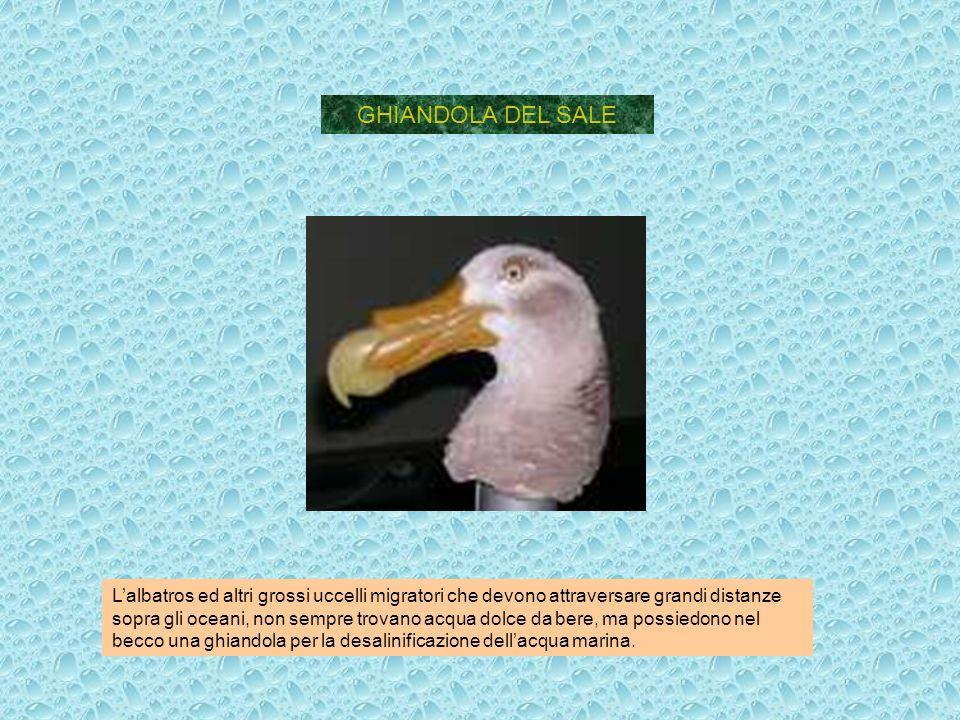 GHIANDOLA DEL SALE Lalbatros ed altri grossi uccelli migratori che devono attraversare grandi distanze sopra gli oceani, non sempre trovano acqua dolc