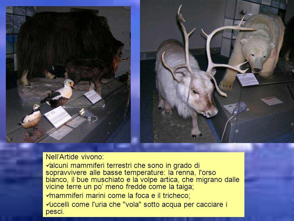 NellArtide vivono: alcuni mammiferi terrestri che sono in grado di sopravvivere alle basse temperature: la renna, l'orso bianco, il bue muschiato e la