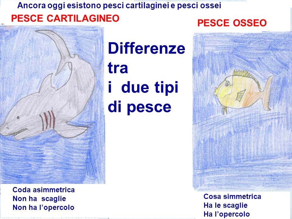 Differenze tra i due tipi di pesce Ancora oggi esistono pesci cartilaginei e pesci ossei PESCE CARTILAGINEO PESCE OSSEO Coda asimmetrica Non ha scagli