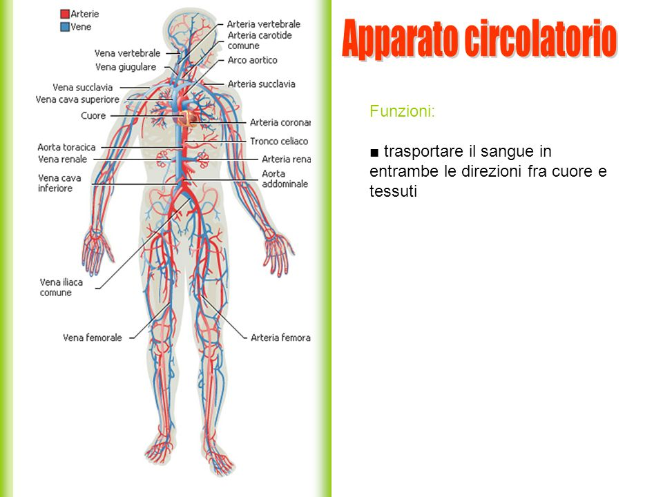 Funzioni: trasportare il sangue in entrambe le direzioni fra cuore e tessuti