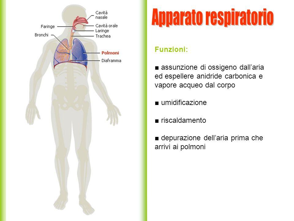 Funzioni: assunzione di ossigeno dallaria ed espellere anidride carbonica e vapore acqueo dal corpo umidificazione riscaldamento depurazione dellaria