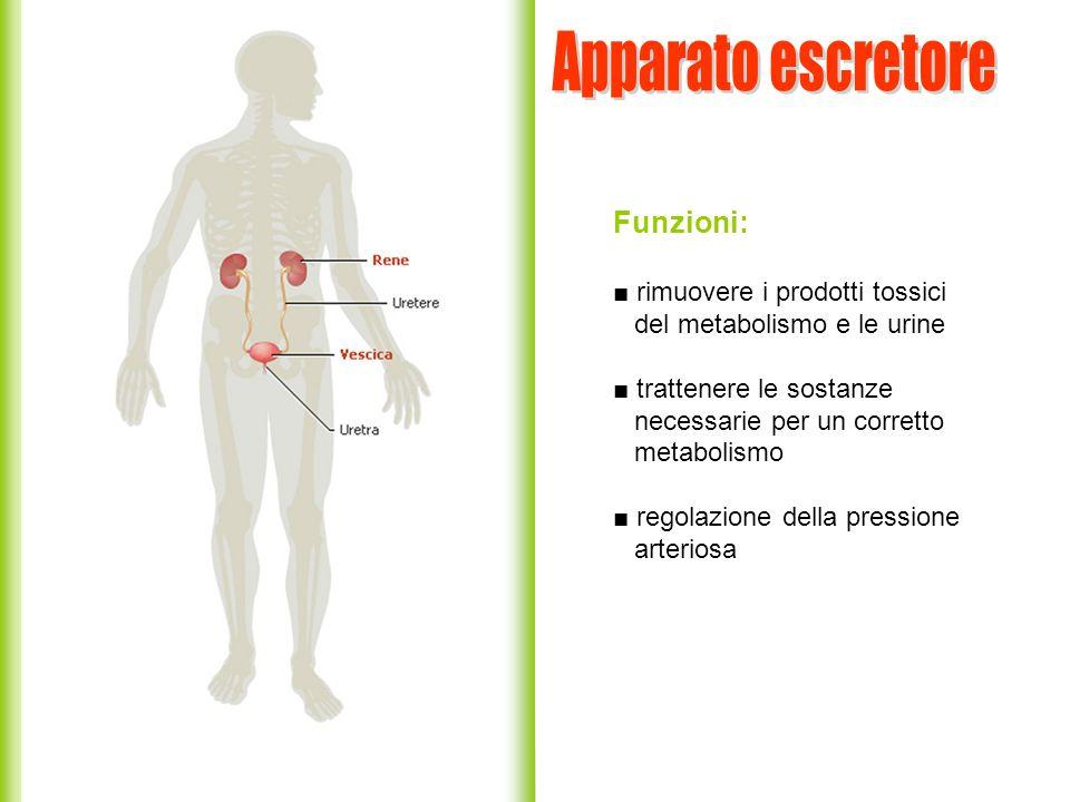 Funzioni: rimuovere i prodotti tossici del metabolismo e le urine trattenere le sostanze necessarie per un corretto metabolismo regolazione della pres