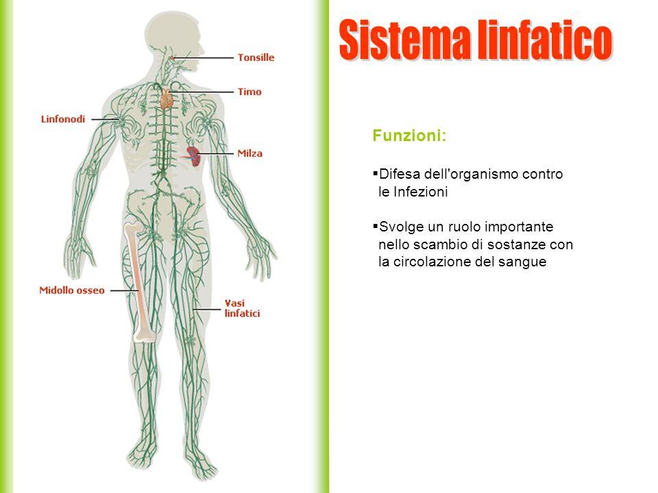 Funzioni: Difesa dell'organismo contro le Infezioni Svolge un ruolo importante nello scambio di sostanze con la circolazione del sangue