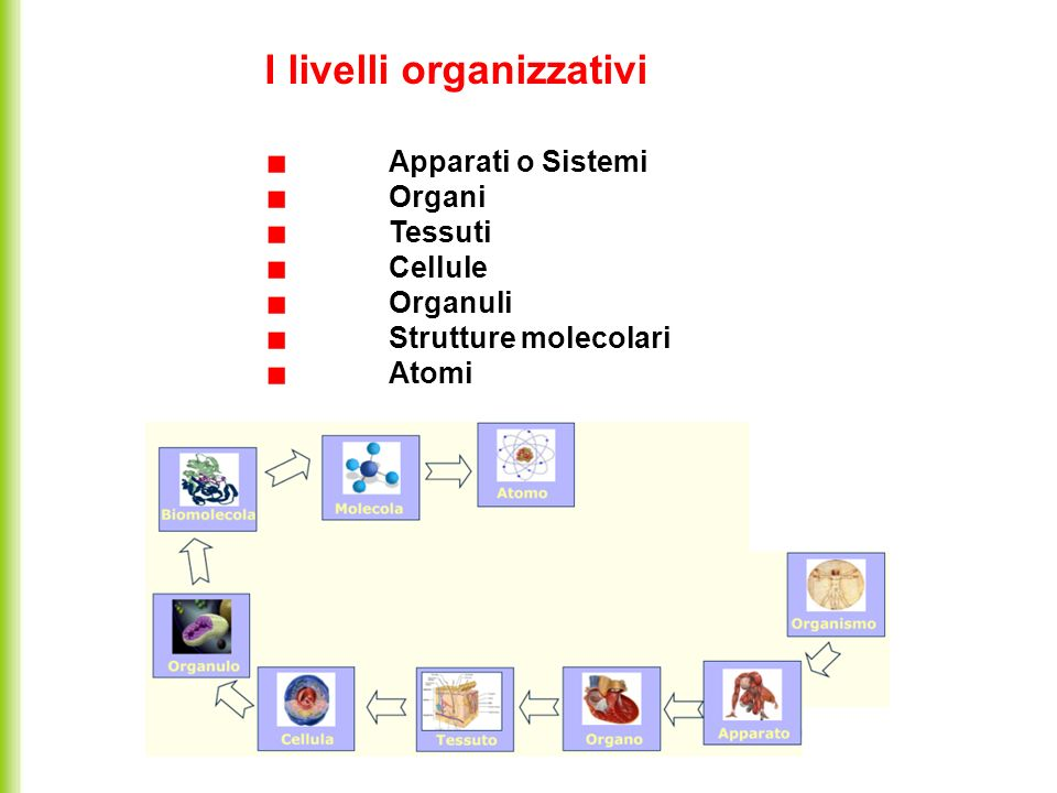 I livelli organizzativi Apparati o Sistemi Organi Tessuti Cellule Organuli Strutture molecolari Atomi