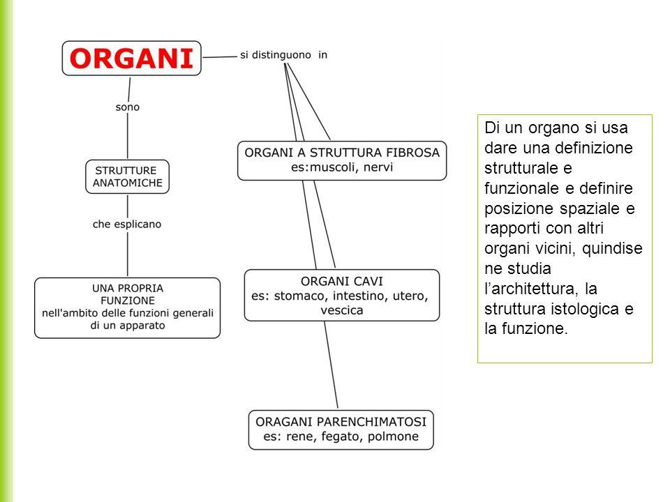 Di un organo si usa dare una definizione strutturale e funzionale e definire posizione spaziale e rapporti con altri organi vicini, quindise ne studia