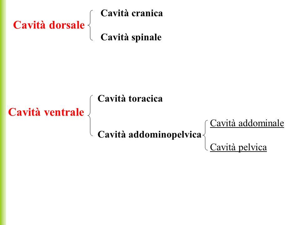 Cavità dorsale Cavità cranica Cavità spinale Cavità ventrale Cavità toracica Cavità addominopelvica Cavità addominale Cavità pelvica