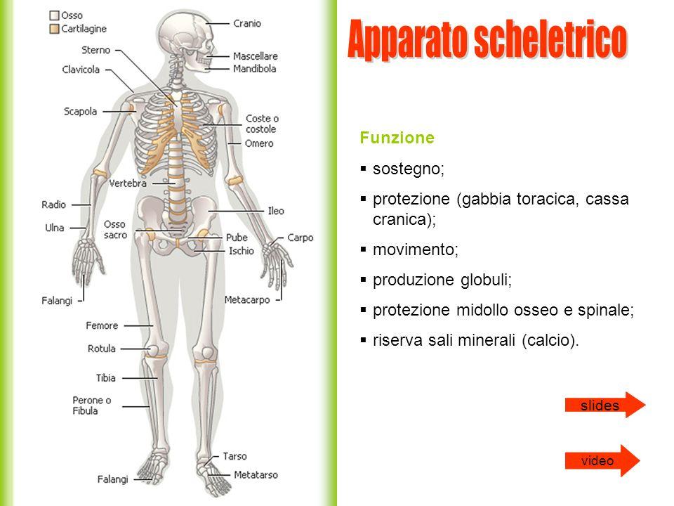 Funzione sostegno; protezione (gabbia toracica, cassa cranica); movimento; produzione globuli; protezione midollo osseo e spinale; riserva sali minera