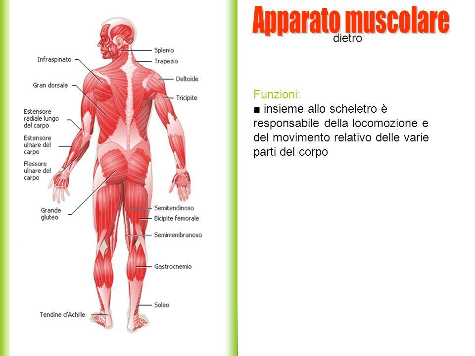 dietro Funzioni: insieme allo scheletro è responsabile della locomozione e del movimento relativo delle varie parti del corpo