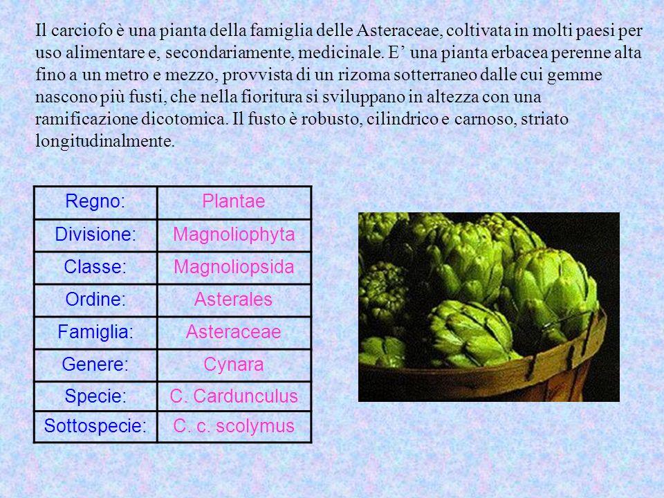 Il carciofo è una pianta della famiglia delle Asteraceae, coltivata in molti paesi per uso alimentare e, secondariamente, medicinale. E una pianta erb