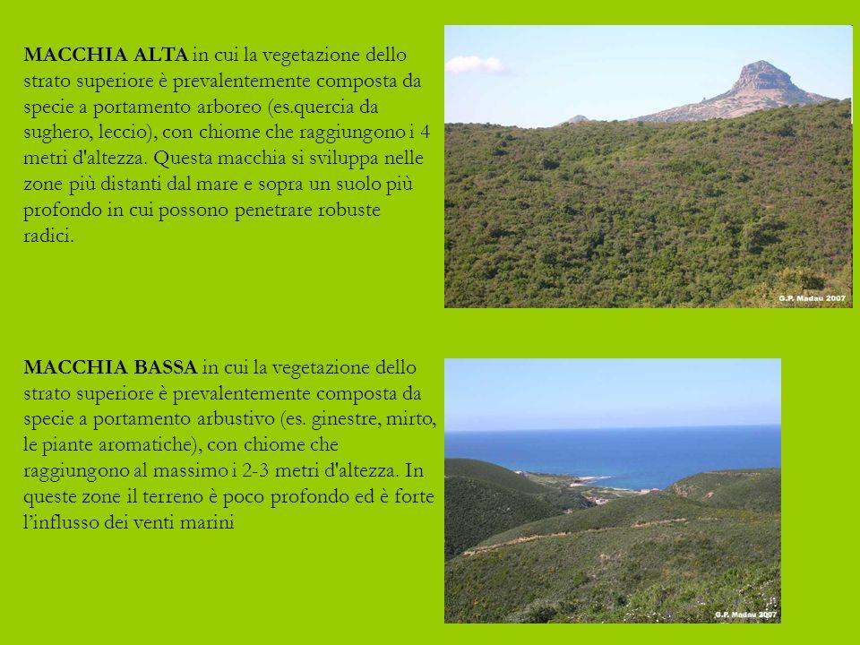 MACCHIA BASSA in cui la vegetazione dello strato superiore è prevalentemente composta da specie a portamento arbustivo (es.