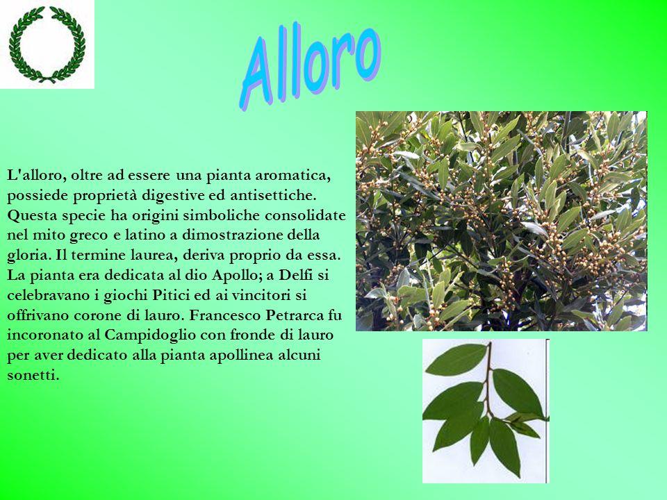L alloro, oltre ad essere una pianta aromatica, possiede proprietà digestive ed antisettiche.