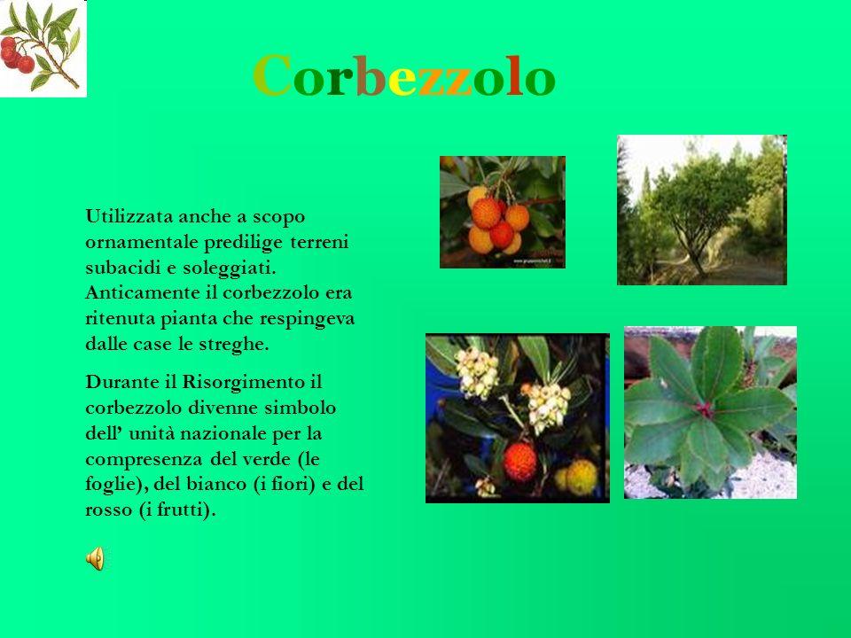 C orbezzolo Utilizzata anche a scopo ornamentale predilige terreni subacidi e soleggiati.