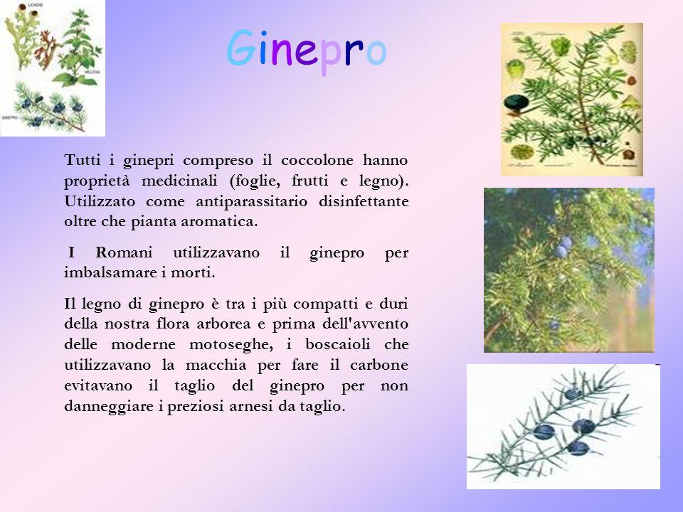 GineproGinepro Tutti i ginepri compreso il coccolone hanno proprietà medicinali (foglie, frutti e legno).
