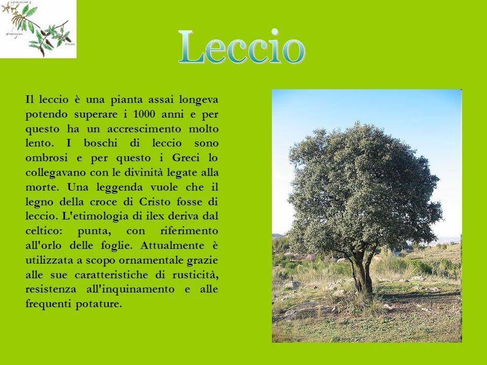 Il leccio è una pianta assai longeva potendo superare i 1000 anni e per questo ha un accrescimento molto lento.