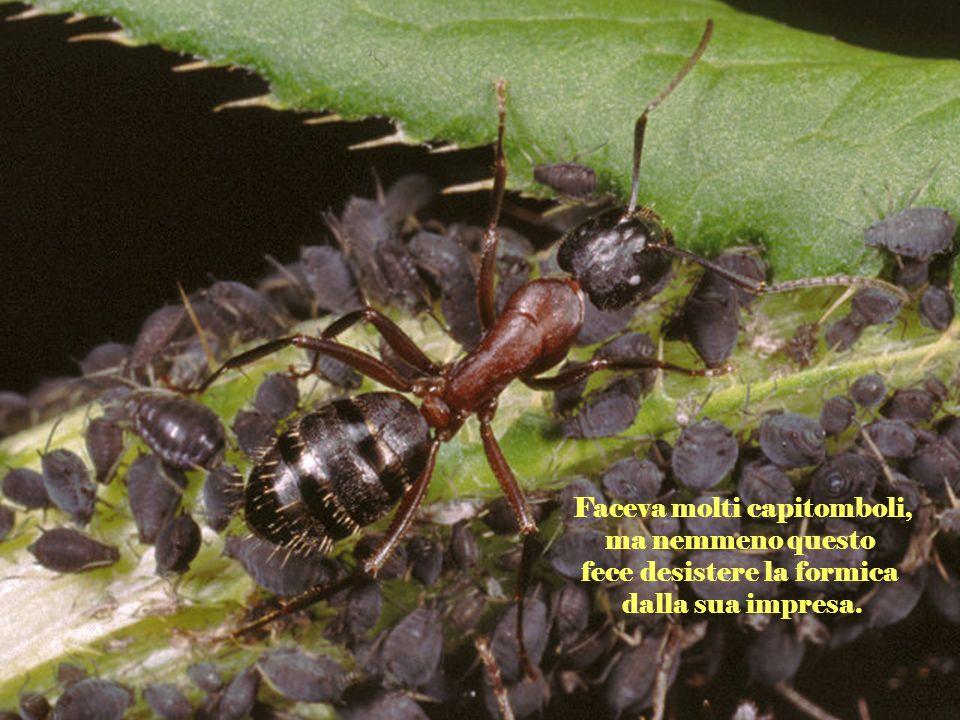 Quando soffiava il vento, la foglia cadeva, facendo cadere anche la formica. Ora la trascinava, ora la sollevava sopra la testa.
