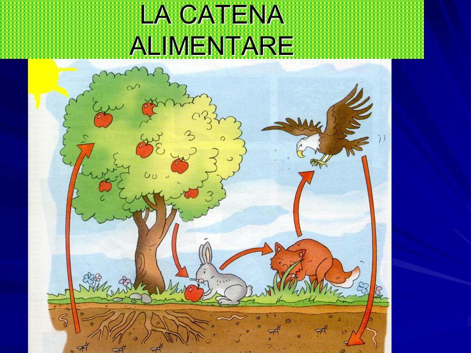 LA CATENA ALIMENTARE Gli animali erbivori mangiano le piante (che contengono carboidrati, grassi e proteine) e riescono a digerire la cellulosa Quelli