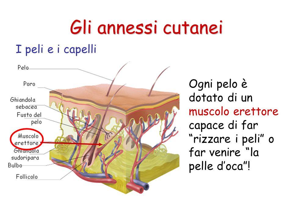Gli annessi cutanei Ogni pelo è dotato di un muscolo erettore capace di far rizzare i peli o far venire la pelle doca! I peli e i capelli