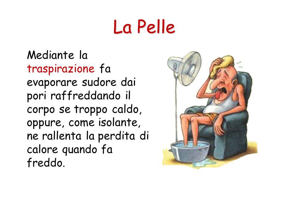 La Pelle Mediante la traspirazione fa evaporare sudore dai pori raffreddando il corpo se troppo caldo, oppure, come isolante, ne rallenta la perdita d
