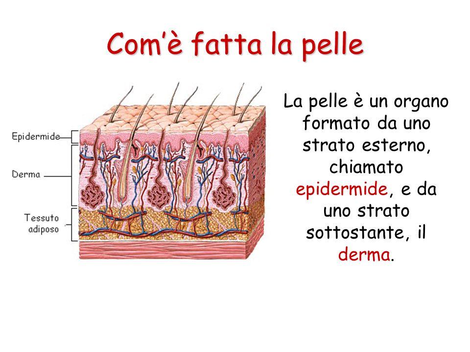 Comè fatta la pelle La pelle è un organo formato da uno strato esterno, chiamato epidermide, e da uno strato sottostante, il derma.