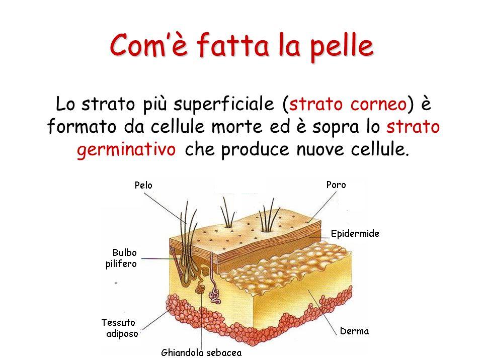 Lo strato più superficiale (strato corneo) è formato da cellule morte ed è sopra lo strato germinativo che produce nuove cellule. Comè fatta la pelle