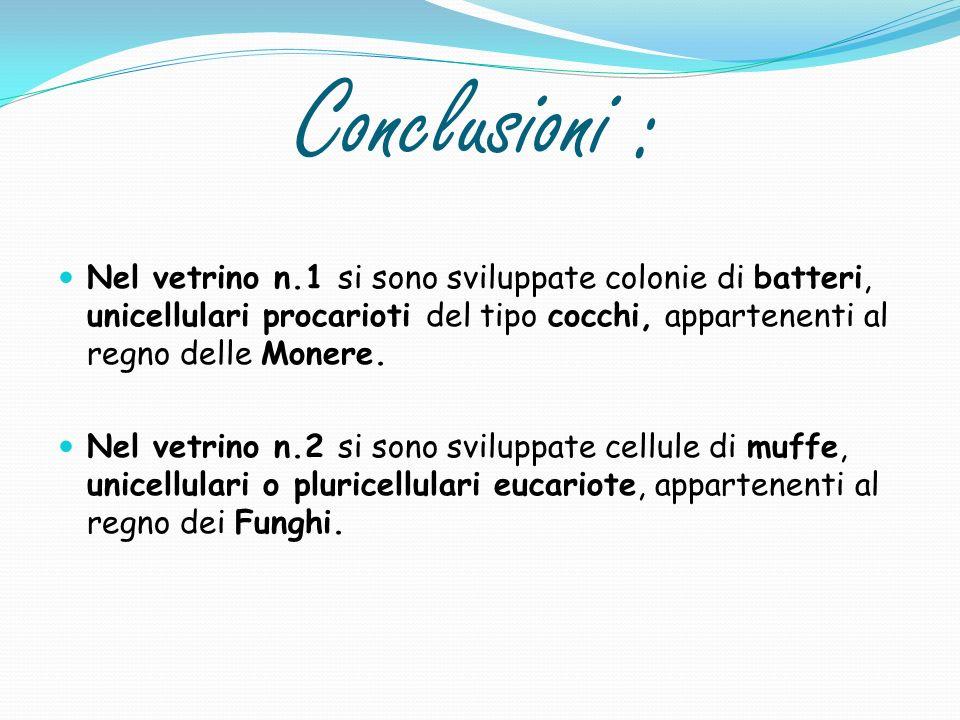 Conclusioni : Nel vetrino n.1 si sono sviluppate colonie di batteri, unicellulari procarioti del tipo cocchi, appartenenti al regno delle Monere. Nel