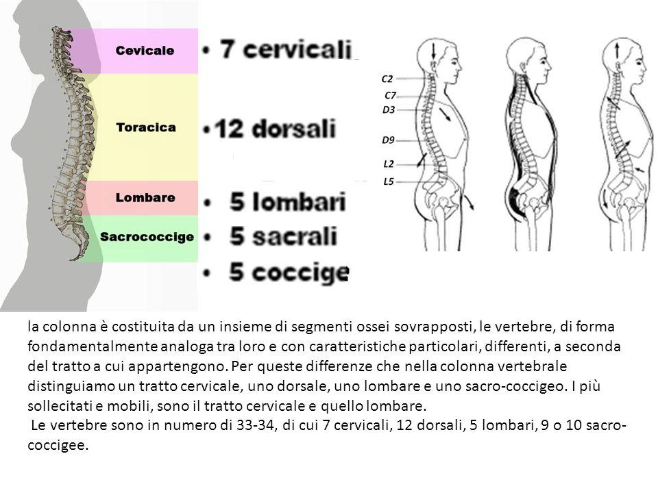 Disposte una sopra l altra le vertebre formano il canale vertebrale dentro il quale alloggia il midollo spinale.