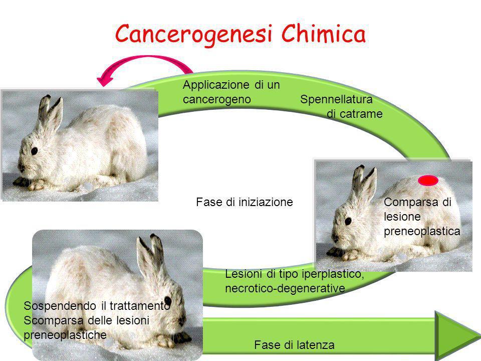 Cancerogenesi Chimica Applicazione di un cancerogeno Spennellatura di catrame Comparsa di lesione preneoplastica Fase di iniziazione Lesioni di tipo i