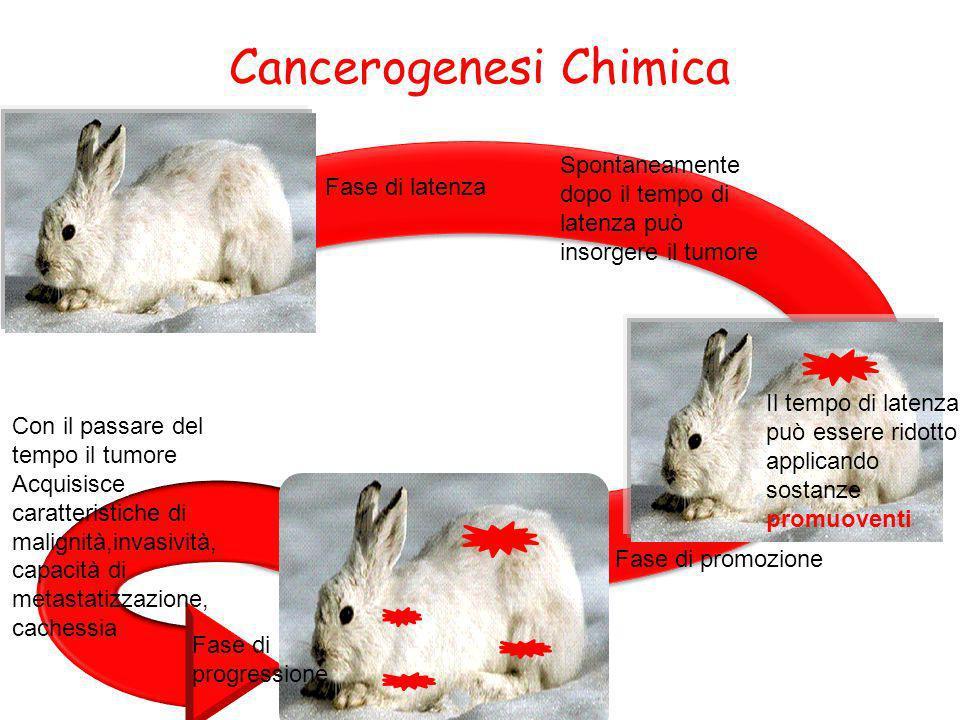 Cancerogenesi Chimica Spontaneamente dopo il tempo di latenza può insorgere il tumore Il tempo di latenza può essere ridotto applicando sostanze promu