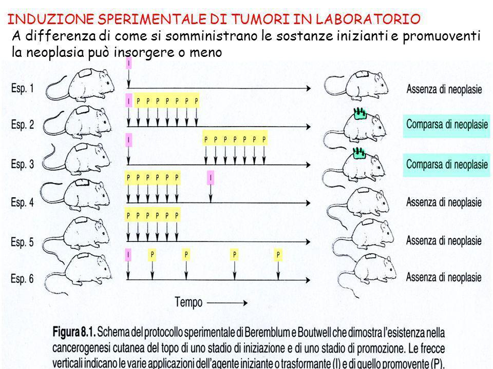 INDUZIONE SPERIMENTALE DI TUMORI IN LABORATORIO A differenza di come si somministrano le sostanze inizianti e promuoventi la neoplasia può insorgere o