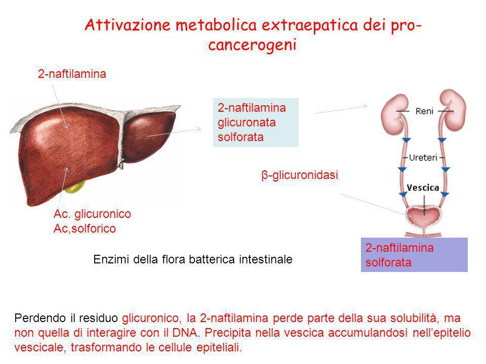 Attivazione metabolica extraepatica dei pro- cancerogeni Perdendo il residuo glicuronico, la 2-naftilamina perde parte della sua solubilità, ma non qu