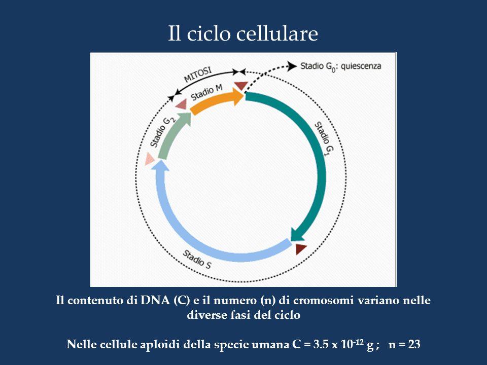 Il ciclo cellulare Il contenuto di DNA (C) e il numero (n) di cromosomi variano nelle diverse fasi del ciclo Nelle cellule aploidi della specie umana