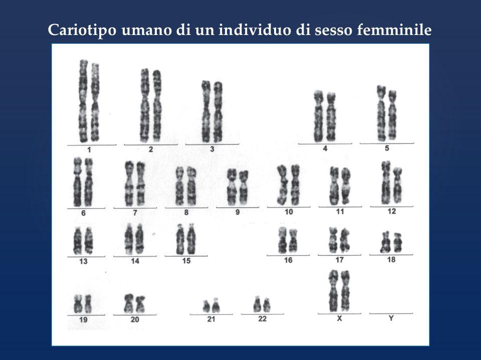 Cariotipo umano di un individuo di sesso maschile