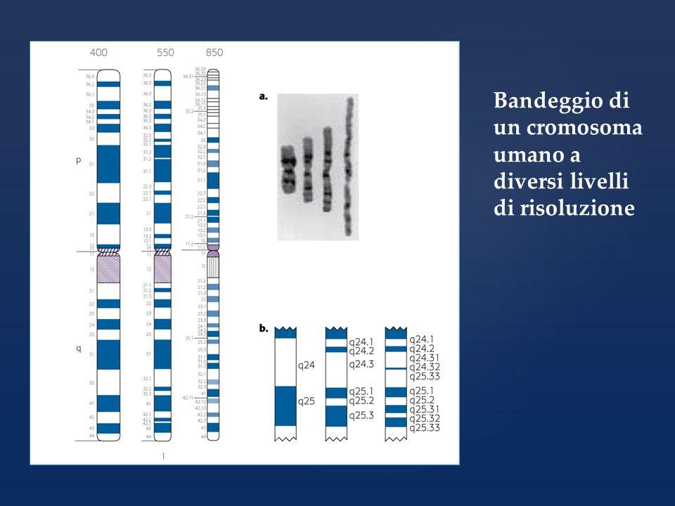 I principali tipi di anomalie di struttura dei cromosomi Conseguenze fenotipiche: per le delezioni e le duplicazioni dipendono dalla quantità di geni coinvolti, per le inversioni dipendono dalla integrità o meno di geni importanti R.Lewis, Genetica umana, editore Piccin