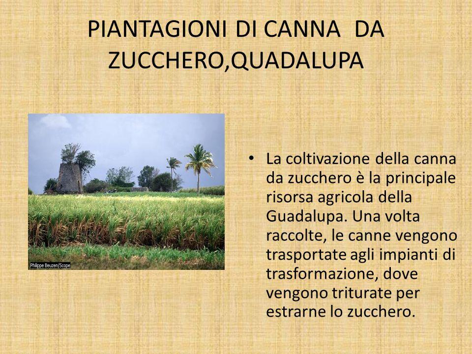 PIANTAGIONI DI CANNA DA ZUCCHERO,QUADALUPA La coltivazione della canna da zucchero è la principale risorsa agricola della Guadalupa. Una volta raccolt
