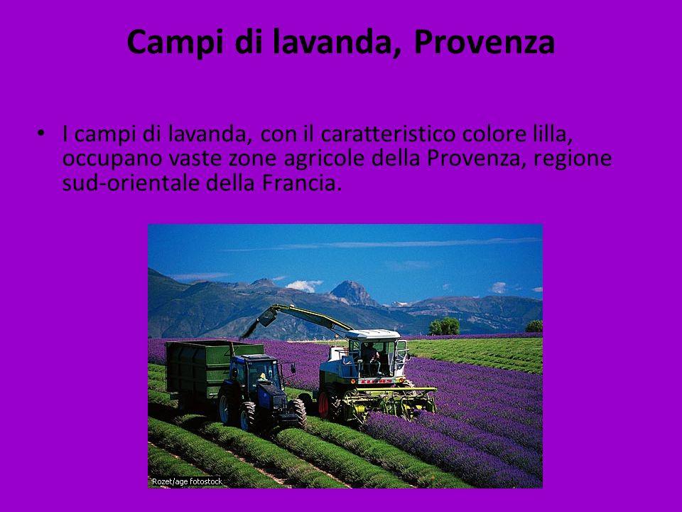 Campi di lavanda, Provenza I campi di lavanda, con il caratteristico colore lilla, occupano vaste zone agricole della Provenza, regione sud-orientale