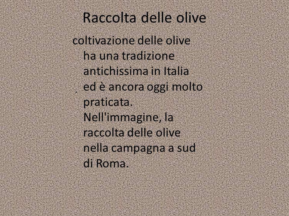 Raccolta delle olive coltivazione delle olive ha una tradizione antichissima in Italia ed è ancora oggi molto praticata. Nell'immagine, la raccolta de