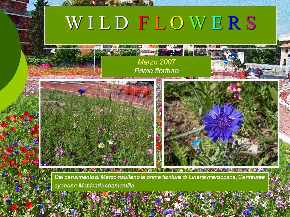 Marzo 2007 Prime fioriture Dal censimento di Marzo risultano le prime fioriture di Linaria maroccana, Centaurea cyanus e Matricaria chamomilla