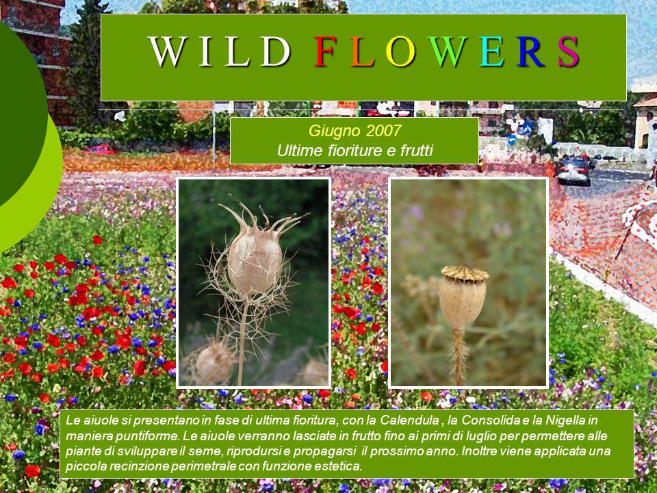 Giugno 2007 Ultime fioriture e frutti Le aiuole si presentano in fase di ultima fioritura, con la Calendula, la Consolida e la Nigella in maniera punt