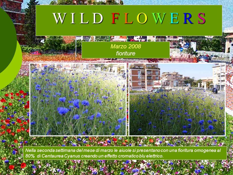Marzo 2008 fioriture Nella seconda settimana del mese di marzo le aiuole si presentano con una fioritura omogenea al 80% di Centaurea Cyanus creando u