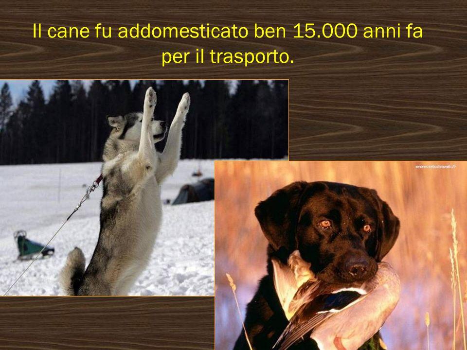 Il cane fu addomesticato ben 15.000 anni fa per il trasporto.