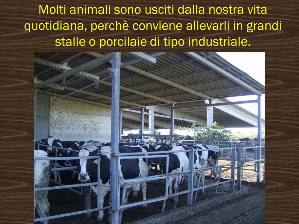 Molti animali sono usciti dalla nostra vita quotidiana, perchè conviene allevarli in grandi stalle o porcilaie di tipo industriale.