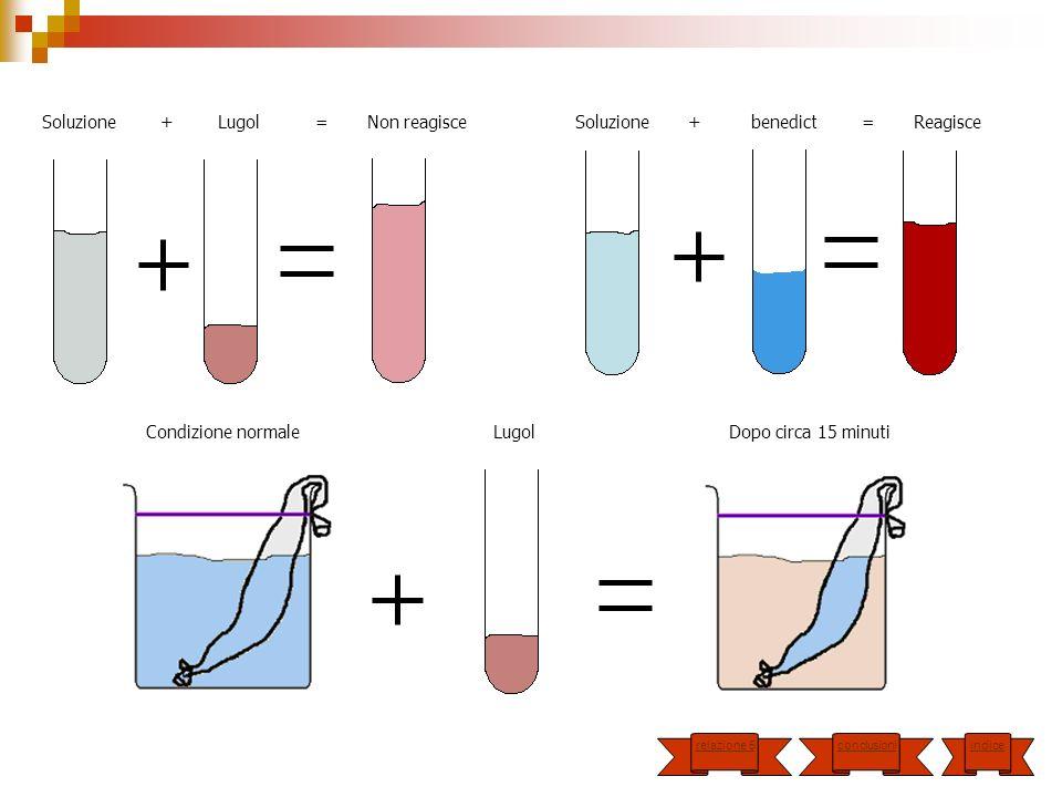 Soluzione + Lugol = Non reagisce Soluzione + benedict = Reagisce Condizione normale Lugol Dopo circa 15 minuti indice conclusioni relazione 5