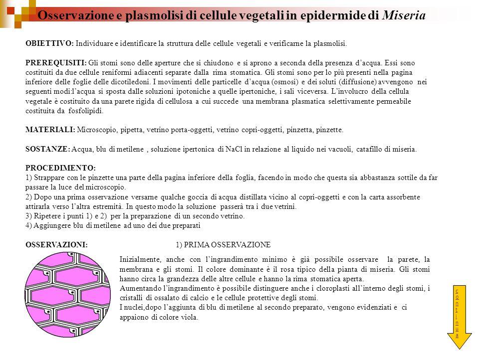 Osservazione e plasmolisi di cellule vegetali in epidermide di Miseria OBIETTIVO: Individuare e identificare la struttura delle cellule vegetali e ver