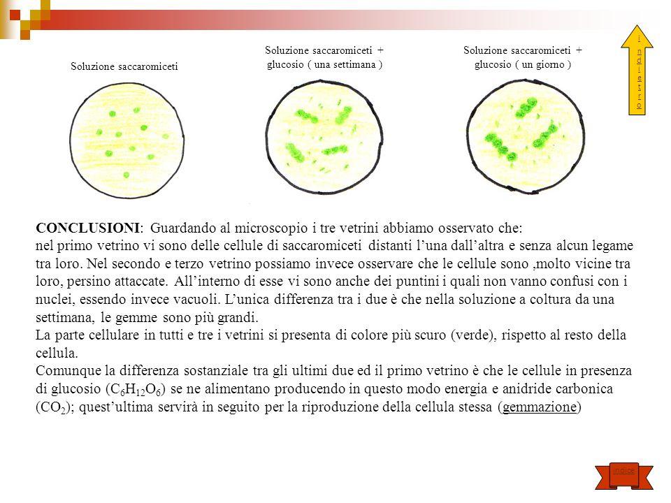 Soluzione saccaromiceti Soluzione saccaromiceti + glucosio ( una settimana ) Soluzione saccaromiceti + glucosio ( un giorno ) CONCLUSIONI: Guardando a