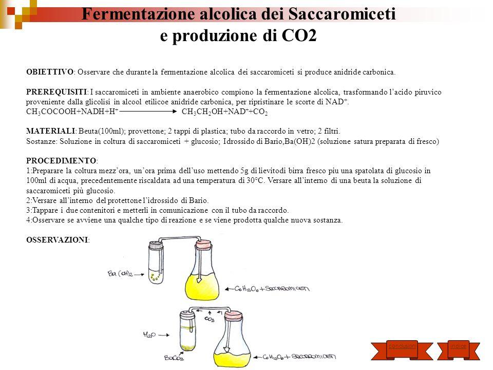 Fermentazione alcolica dei Saccaromiceti e produzione di CO2 OBIETTIVO: Osservare che durante la fermentazione alcolica dei saccaromiceti si produce a