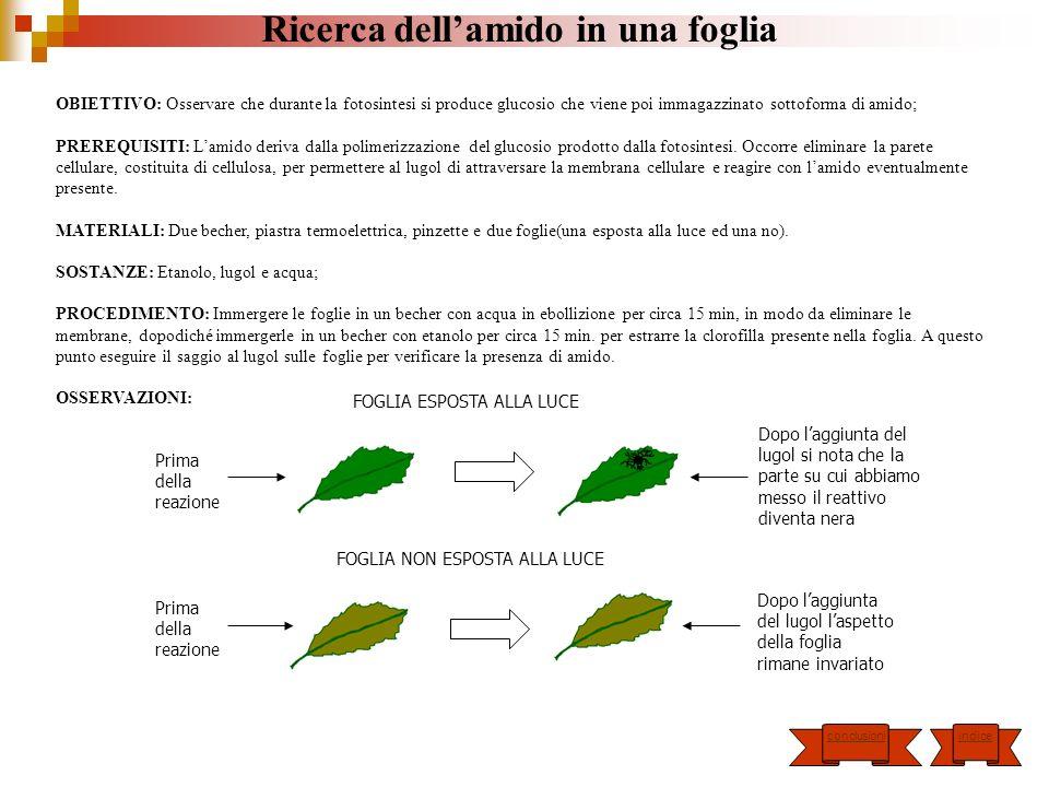 Ricerca dellamido in una foglia OBIETTIVO: Osservare che durante la fotosintesi si produce glucosio che viene poi immagazzinato sottoforma di amido; P