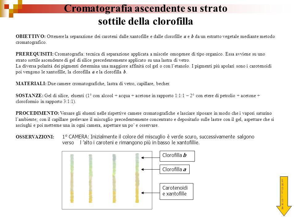 Cromatografia ascendente su strato sottile della clorofilla OBIETTIVO: Ottenere la separazione dei caroteni dalle xantofille e dalle clorofille a e b